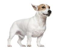 2插孔老罗素常设狗年 免版税库存照片