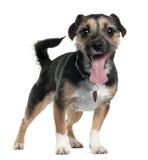 2插孔老罗素常设狗年 库存照片