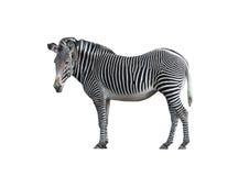 2斑马 免版税库存图片
