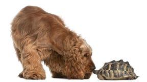 2斗鸡家英国老西班牙猎狗乌龟年 免版税库存照片