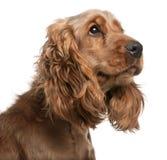2斗鸡家英国老西班牙猎狗年 免版税库存图片