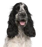 2斗鸡家英国老西班牙猎狗年 免版税图库摄影