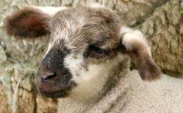 2新的羊羔 库存图片