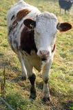 2无角的母牛 免版税库存照片