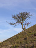 2月山楂树结构树 免版税库存图片