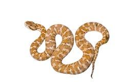 2有毒的蛇 免版税库存照片