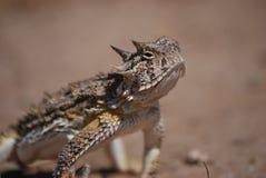 2有角的蜥蜴蟾蜍 图库摄影