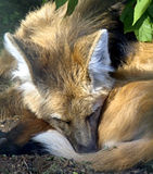2有鬃毛的狼 图库摄影