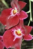 2朵兰花 库存图片