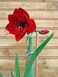 2朵孤挺花开花的hippeastrum 库存照片