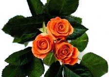 2朵玫瑰 免版税库存图片