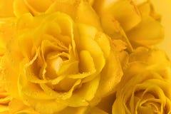 2朵背景玫瑰黄色 库存图片