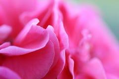 2朵背景花粉红色 免版税库存照片