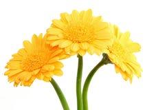 2朵花大丁草黄色 图库摄影