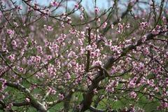 2朵花桃子粉红色 库存图片