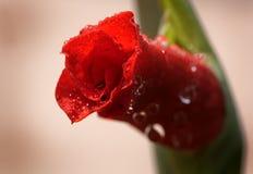 2朵花红色 免版税库存图片