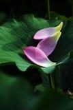 2朵花莲花瓣 库存照片