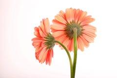 2朵雏菊变粉红色二 免版税库存照片