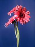 2朵雏菊大丁草纵向三重奏 库存照片