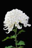 2朵雏菊查出的白色 免版税图库摄影
