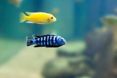 2条异乎寻常的鱼 免版税图库摄影