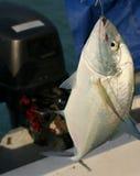2条抓住鱼 免版税库存图片