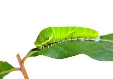 2条毛虫绿色叶子 免版税库存图片