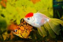 2条水族馆鱼 图库摄影