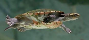 2条河水龟 图库摄影