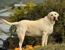 2条狗拉布拉多黄色 免版税库存图片