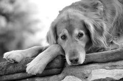2条狗金黄休息的猎犬 免版税库存照片