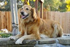 2条狗金黄摆在的猎犬 图库摄影