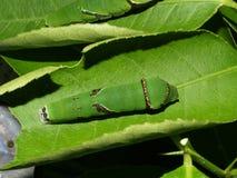 2条蝴蝶毛虫异乎寻常的泰国 库存图片