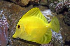 2条鱼特性黄色 图库摄影