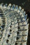 2条鳄鱼传说 免版税图库摄影