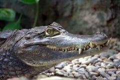 2条鳄鱼威胁 免版税库存图片