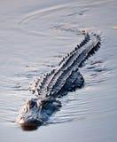 2条鳄鱼游泳 库存照片
