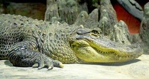 2条鳄鱼矮人 图库摄影