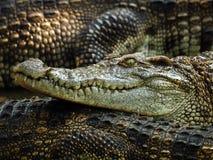 2条鳄鱼题头 免版税库存照片