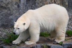 2极性的熊放松 库存照片