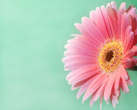 2根大丁草粉红色 图库摄影