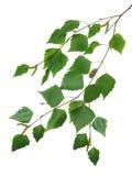 2桦树分行 库存图片