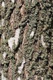 2桦树外皮 免版税库存照片