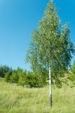 2桦树 库存照片