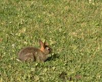 2棉尾巴兔子 库存照片