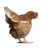 2棕色母鸡老年 免版税库存照片