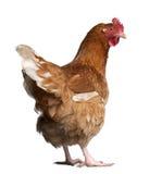 2棕色母鸡老年