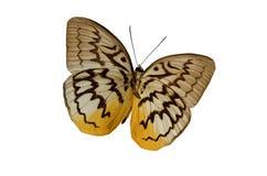 2棕色蝴蝶 免版税图库摄影