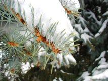 2棵冷杉熔化的雪结构树 免版税图库摄影