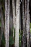 2棵印度榕树详细资料结构树 免版税库存照片